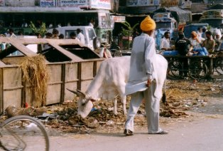 krowa na smietniku