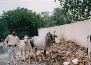 krowy i elegancki hindus